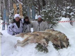 Feed back about wolf hunting, February 2019